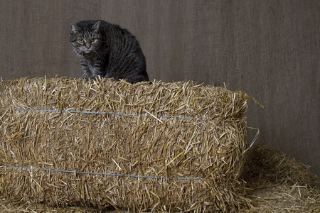 barn cat sitting on top of bales of straw ready to pounce Stock Photo - 8537527