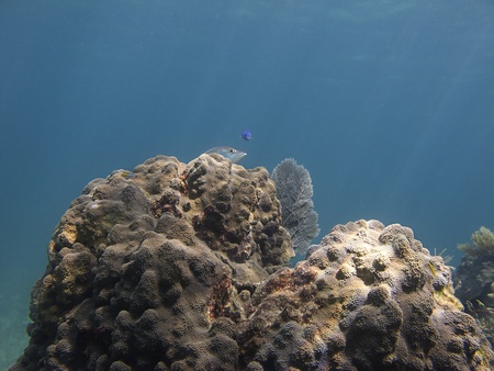 brilliant   undersea: two fish hidding behind a coral reef