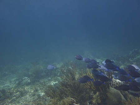 School of  Blue Tang fish swimming in a coral reef photo