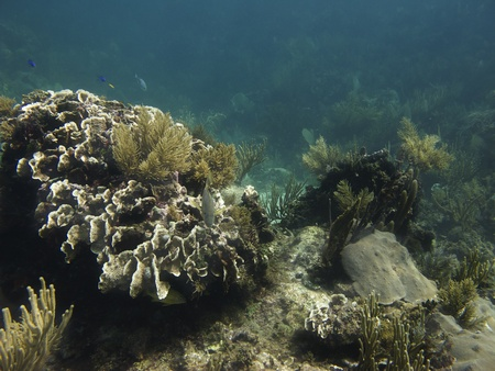 brilliant   undersea: Coral reef home of the following fish, bluehead, bluestriped grunt, french grunt Stock Photo