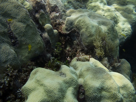 brilliant   undersea: Coral reef home of little yellow fish