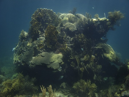 brilliant   undersea: Coral growing on a rock home to many fish