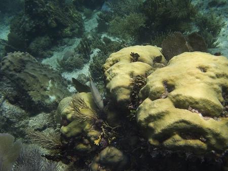 brilliant   undersea: Bluestriped Grunt hiding in a coral reef Stock Photo