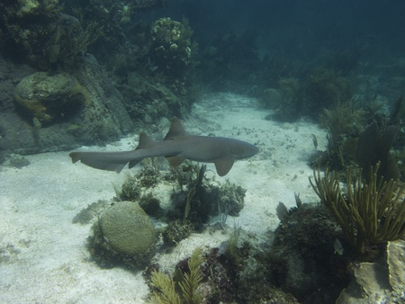 underwater shot of a nurse shark swimming in a coral reef photo