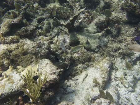 Small french grunt swimming in a coral reef photo
