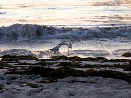 shores: Two seagulls fighting on the beach Stock Photo