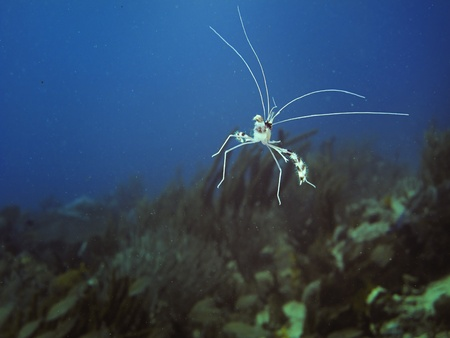 decapod: Little banded coral shrimp floating in the ocean Stock Photo