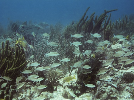 school of white fish swimming in a reef photo