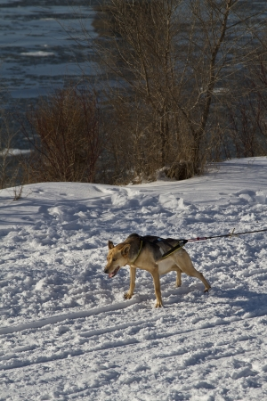 shepperd: German shepperd dog sleigh ready to go Stock Photo