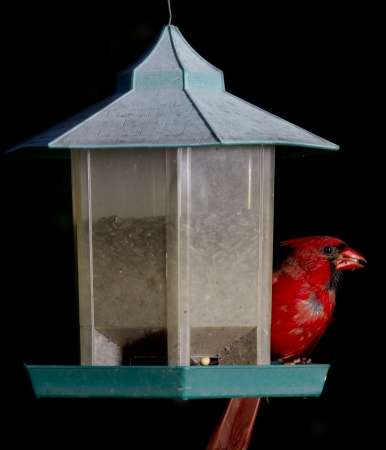 corn kernel: Red cardinal feeding on a corn kernel