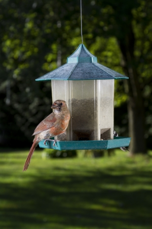 female cardinal: female cardinal sitting on a bird feeder  Stock Photo