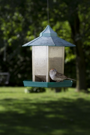 chipping: Chipping Sparrow on bird feeder