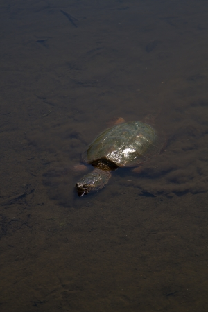 freshwater turtle: snapping turtle swimming underwater