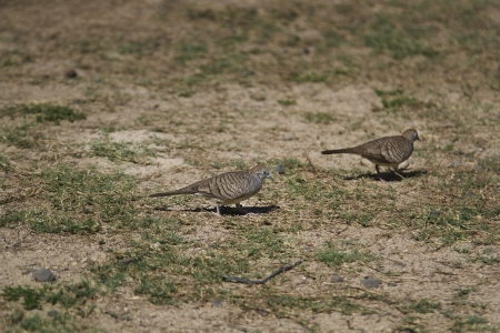 two zebra dove walking in the grass Stock Photo - 16146139