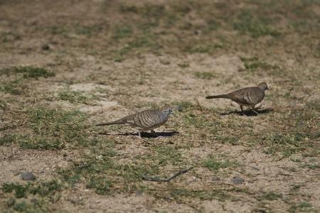 two zebra dove walking in the grass Stock Photo - 16146139