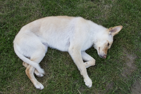 dead dog: golden colored dog playing dead in the grass Stock Photo