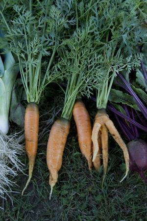carot: fresh garden carrots, beetroot and leak