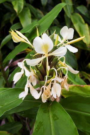 coronarium: close up of ginger lily growing in the wild