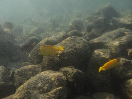 tang: two Yellow tang surgeonfish swimming in sediment water Stock Photo