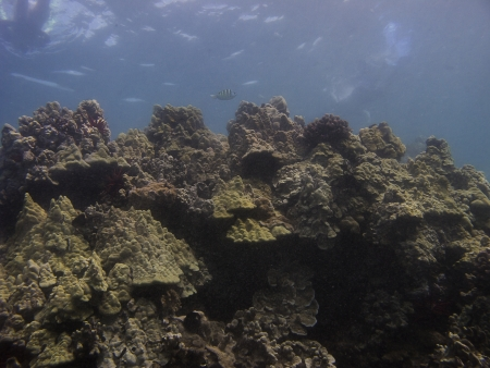major ocean: one surgeon major fish swimming in a coral reef