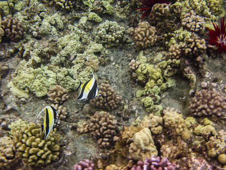 zanclus cornutus: Moorish idol swimming in a coral reef