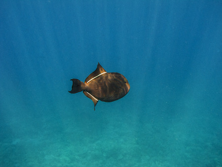 Black Durgon swimming near the surface Imagens