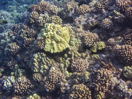 hard coral: Hard coral reef in the hawaiian shore