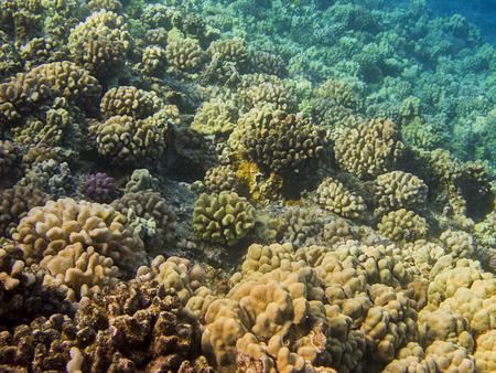 Hard coral reef in the hawaiian shore Stock Photo - 27070155