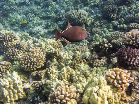 hard coral: Hard coral reef in the hawaiian shore with a black durgon