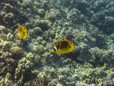 racoon: couple of racoon butterflyfish in a pacific reef