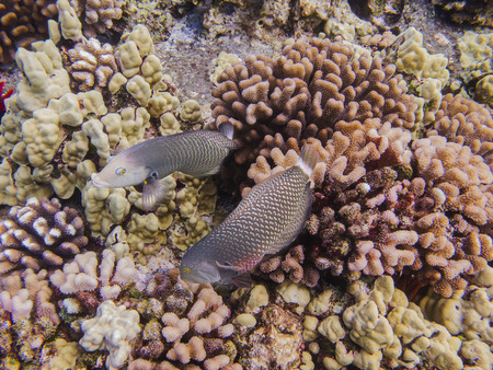 labridae: two female wrasse in a coral reef Stock Photo