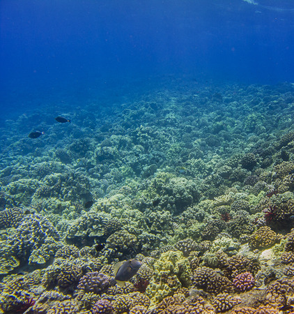 hard coral: Hard coral reef in the hawaiian shore, home to many species of fish