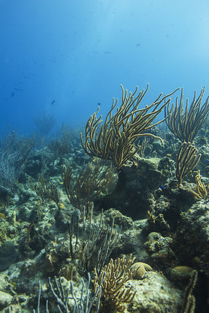 pristine coral reef: coral reef bathed by sunlight
