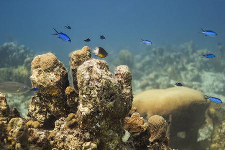 damselfish: Bicolor damselfish and blue chromis swiming above coral