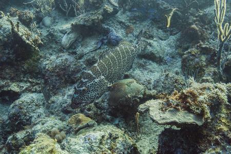epinephelus: Epinephelus itajara or goliath grouper resting at the bottom of the sea