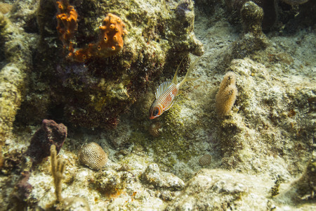 squirrelfish resting by a ledge in a coral reef photo