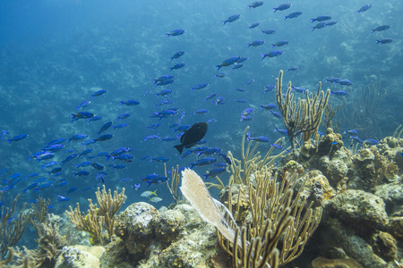 wrasse: creole wasse in their intial phase schooling around a black durgon Stock Photo