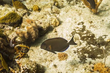 surgeon fish: Brown peces nadando cirujano en un arrecife de coral