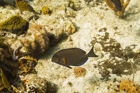surgeon fish: Brown surgeon fish swimming in a coral reef
