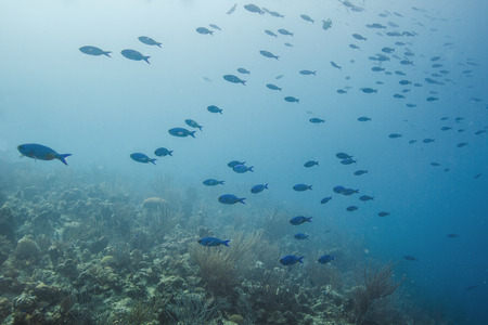 staghorn: creole wasse in their intial phase schooling in a reef