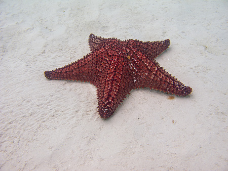 oreaster reticulatus: cushion sea star leaving a trail on the sands Stock Photo