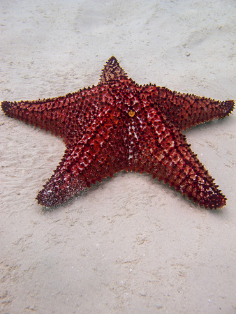 oreaster reticulatus: close up of a cushion sea star Stock Photo