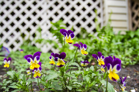 Yellow and purple pansy in the garden Stock Photo