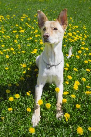 levantandose: perro de oro de levantarse de un campo de diente de le�n