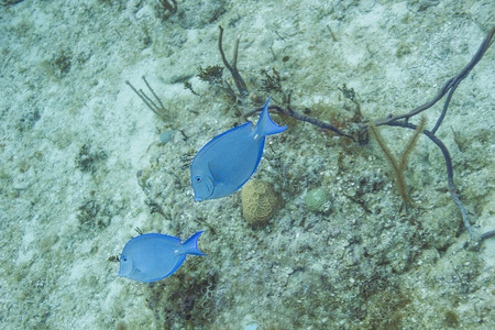 blue tang: a couple of blue tang swimming on a sandy bottom Stock Photo