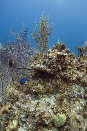 brilliant   undersea: small blue chromis swimming in a reef off the shore of bahamas Stock Photo