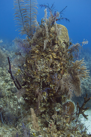 brilliant   undersea: Column created by coral, sponge and other sea life