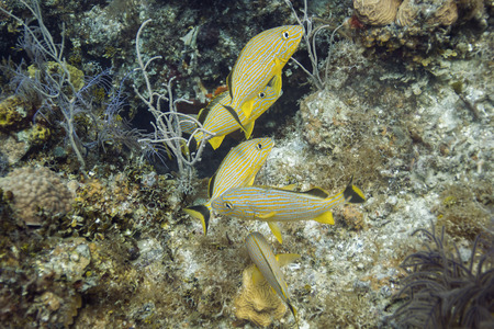 grunt: Small school of bluestripped grunt in a coral reef