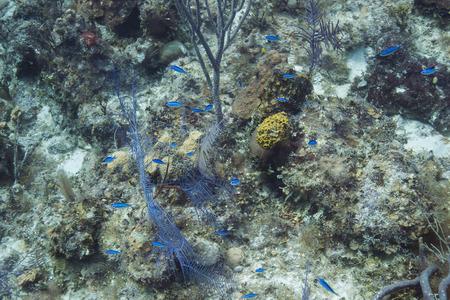 damselfish: School of blue chromis in bahamas