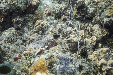 bicolor: Lonely bicolor Damselfish in a coral reef Stock Photo